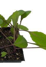 Cabbage 'Ruby Ball' Jumbo Traypack