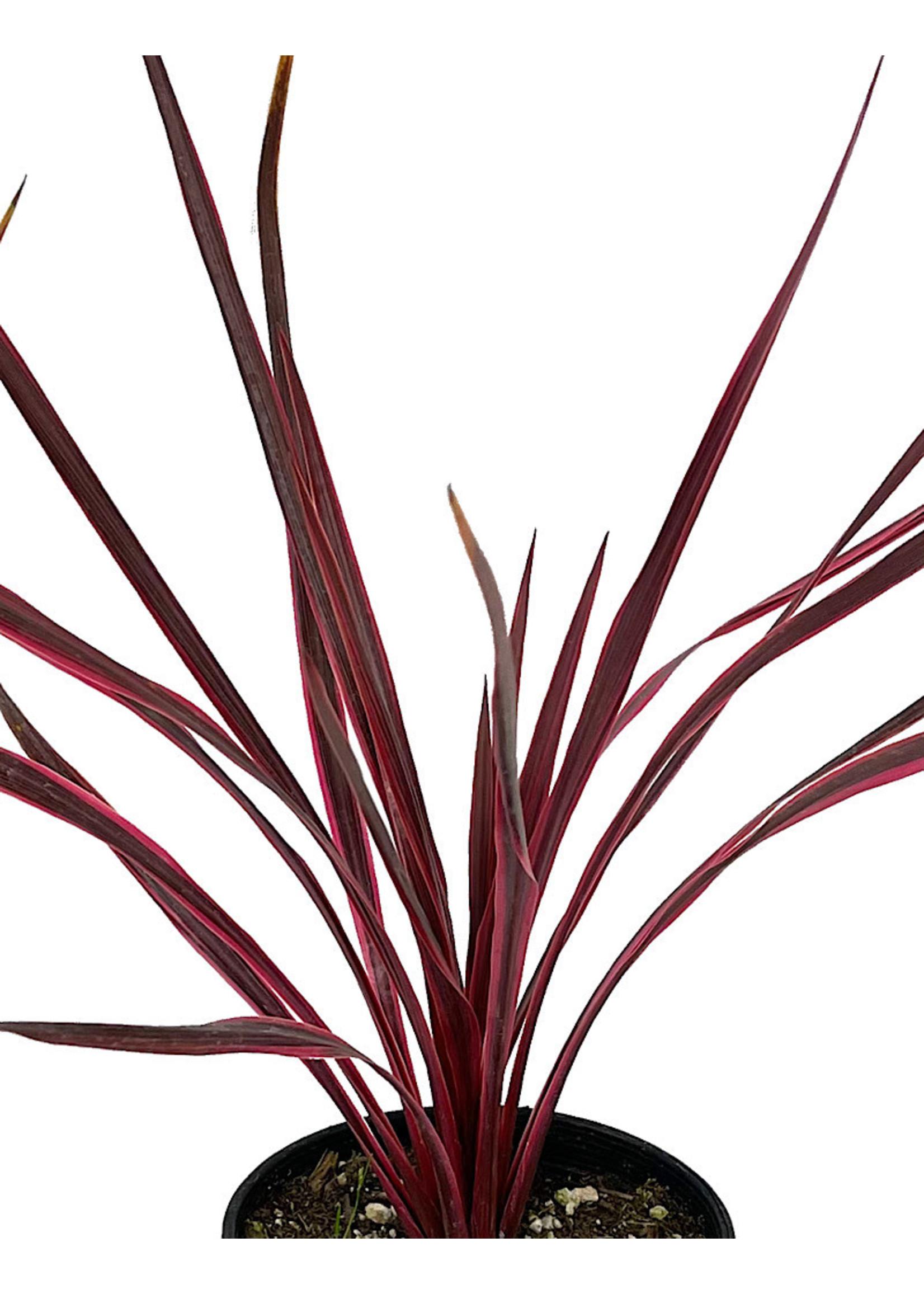 Cordyline a. 'Cherry Sensation' 1 Gallon