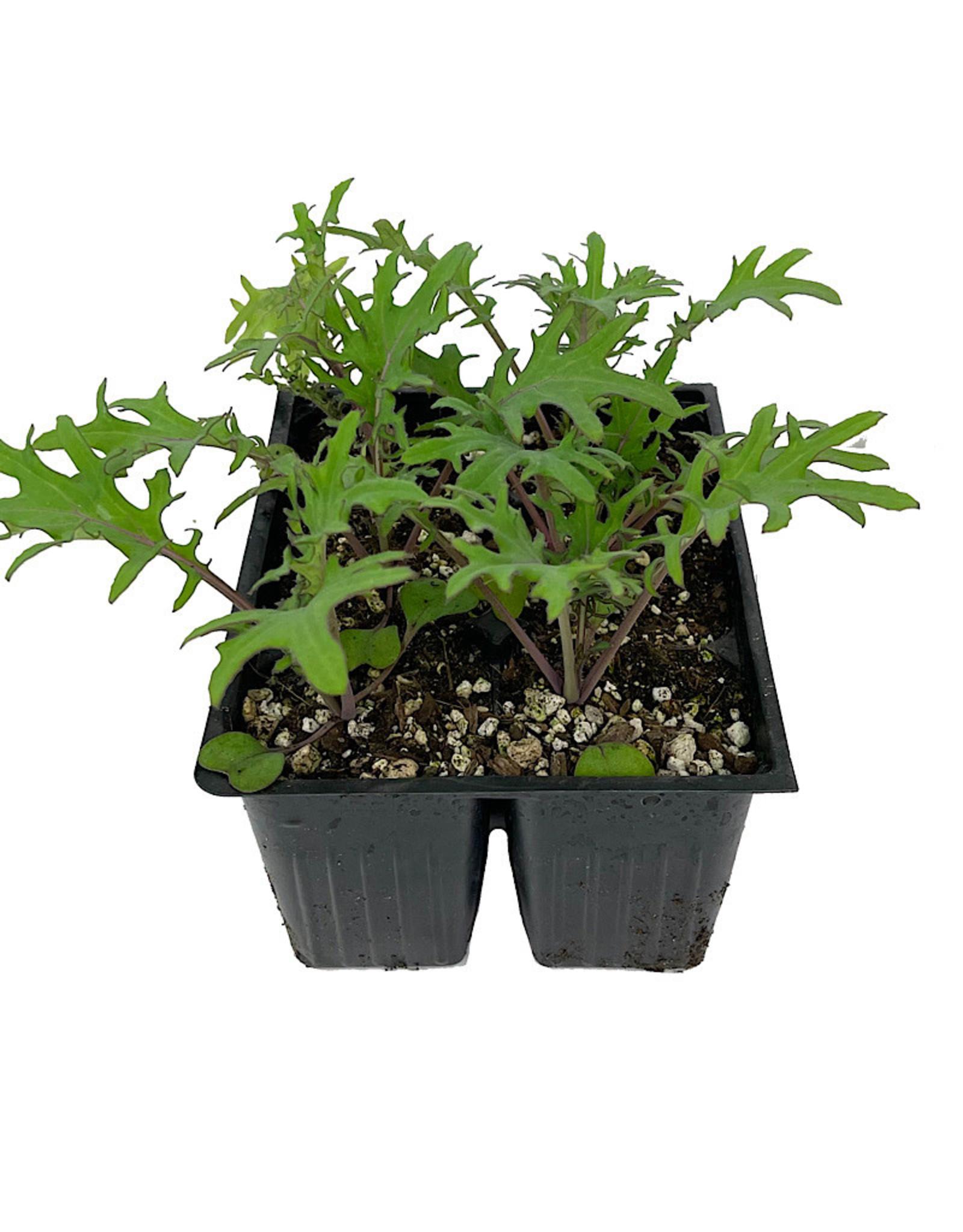 Kale 'Red Russian' Jumbo Traypack