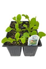 Lettuce 'Buttercrunch' Jumbo Traypack