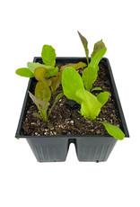 Lettuce 'Gourmet Blend' Jumbo Traypack