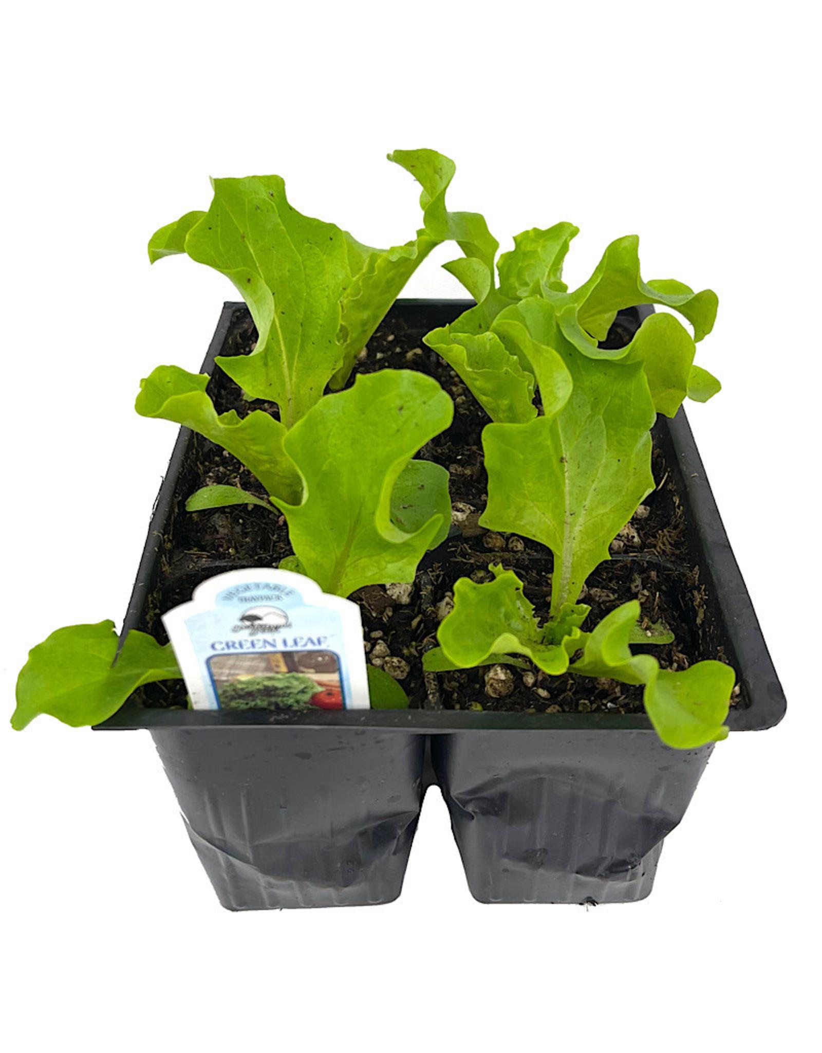 Lettuce 'Green Leaf' Jumbo Traypack