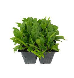 Spinach 'Olympia' Jumbo Traypack