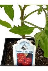 Tomato 'Burpee Big Boy' 4 Inch