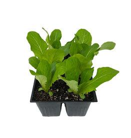 Lettuce 'Romaine' Jumbo Traypack
