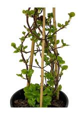 Hydrangea anomala petiolaris 2 Gallon
