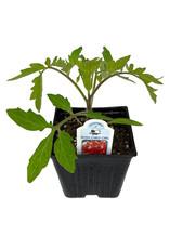 Tomato 'Bush Early Girl' 4 Inch