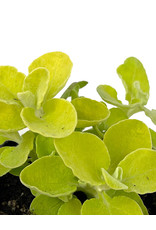 Helichrysum 'Lemon Licorice' 4 inch