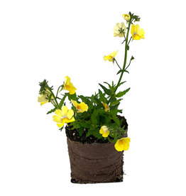 Nemesia 'Sunsatia Lemon' 4 Inch