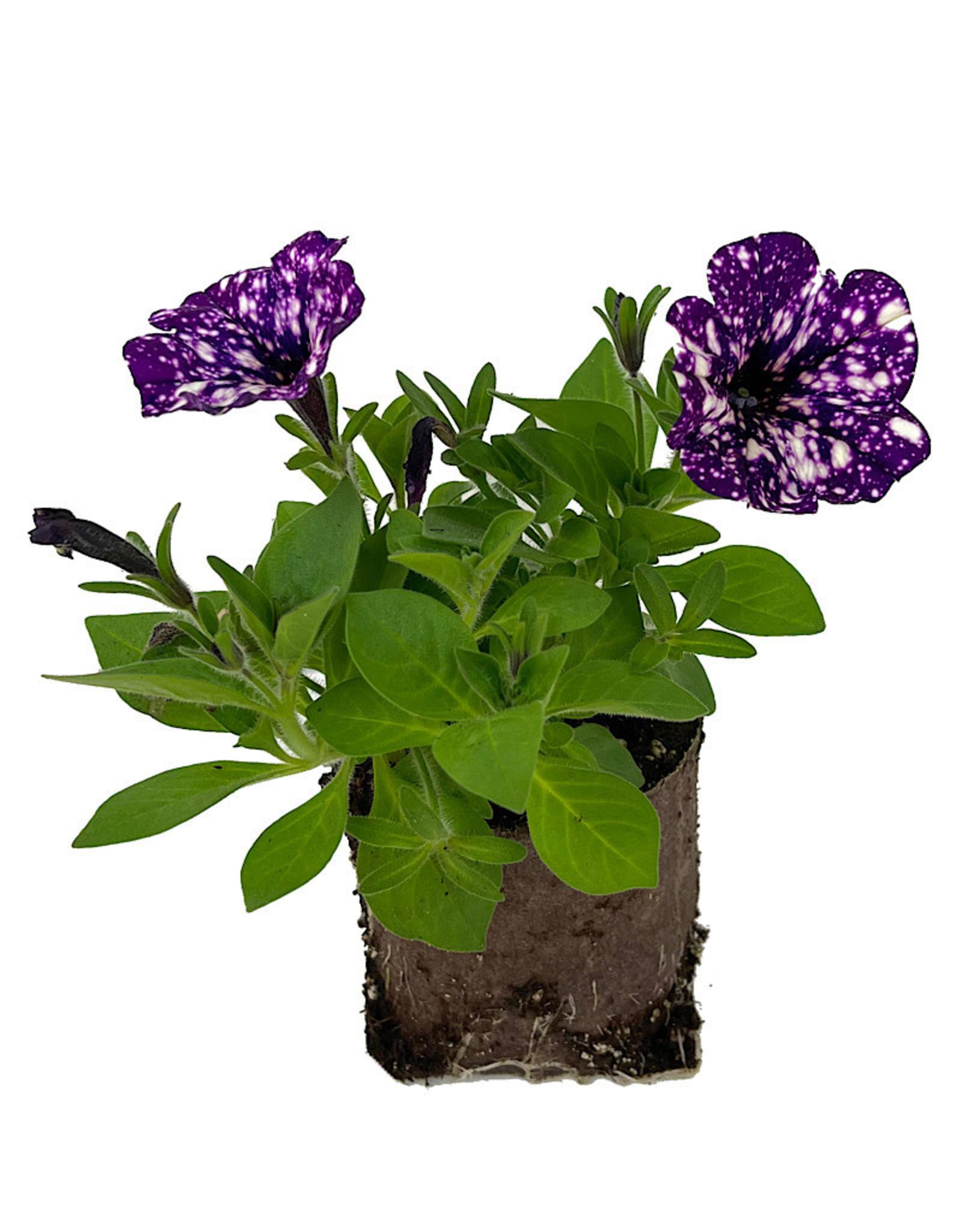 Petunia 'Surprise Sparkle Purple' 4 Inch