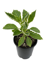 Brugmansia 'Variegata' 1 Gallon