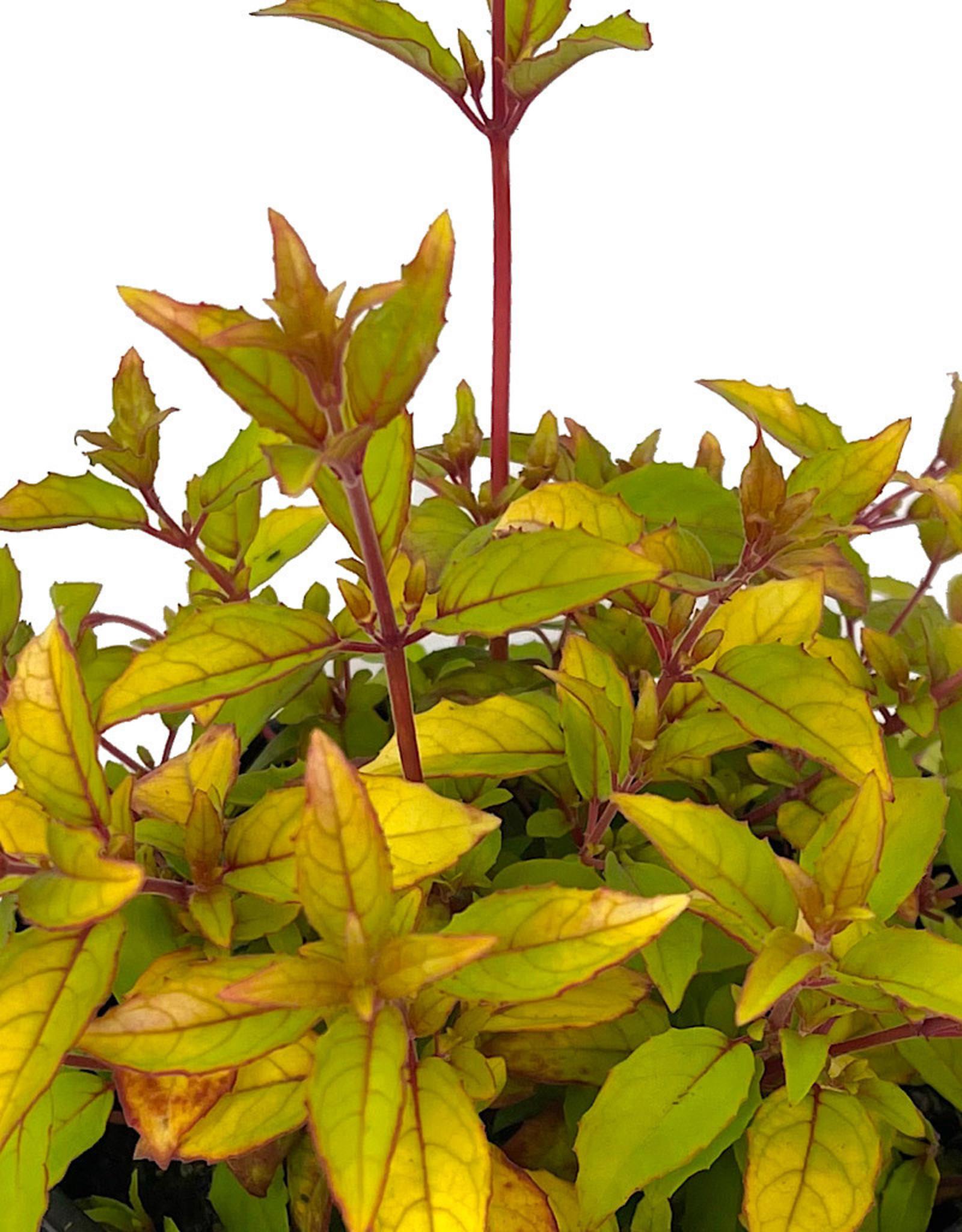 Fuchsia m. 'Aurea' 1 Gallon