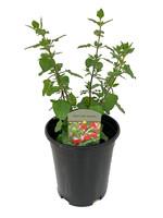 Salvia 'Hot Lips' 1 Gallon