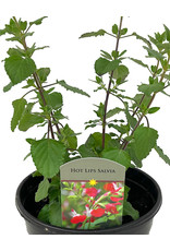 Salvia 'Hot Lips' 1 Gallon