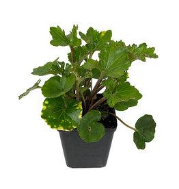 Farfugium japonicum 'Shishi Botan' Quart