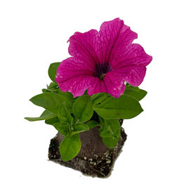 Petunia 'Surfinia Rose Vein' 4 inch