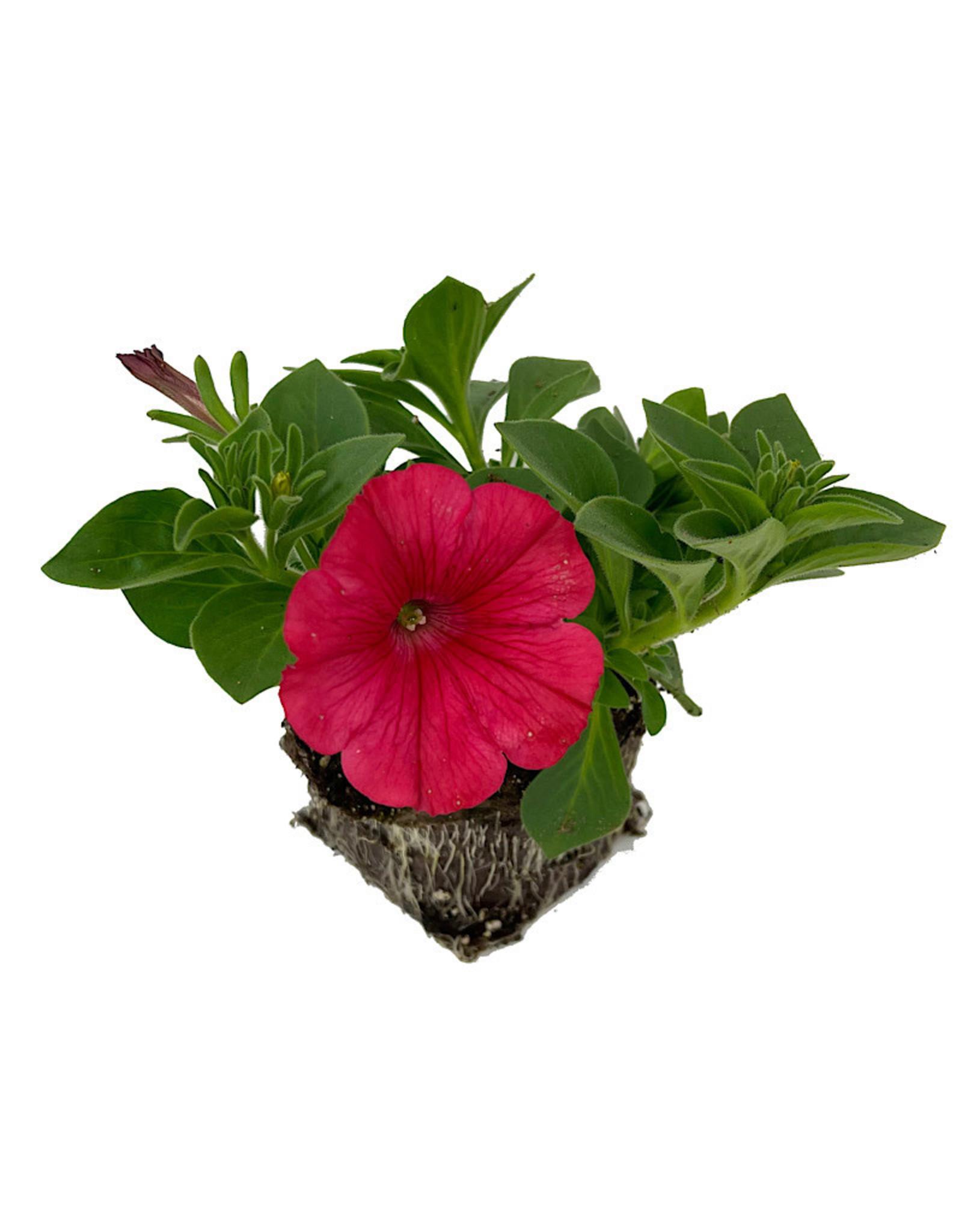 Petunia 'ColorRush Watermelon Red' 4 inch