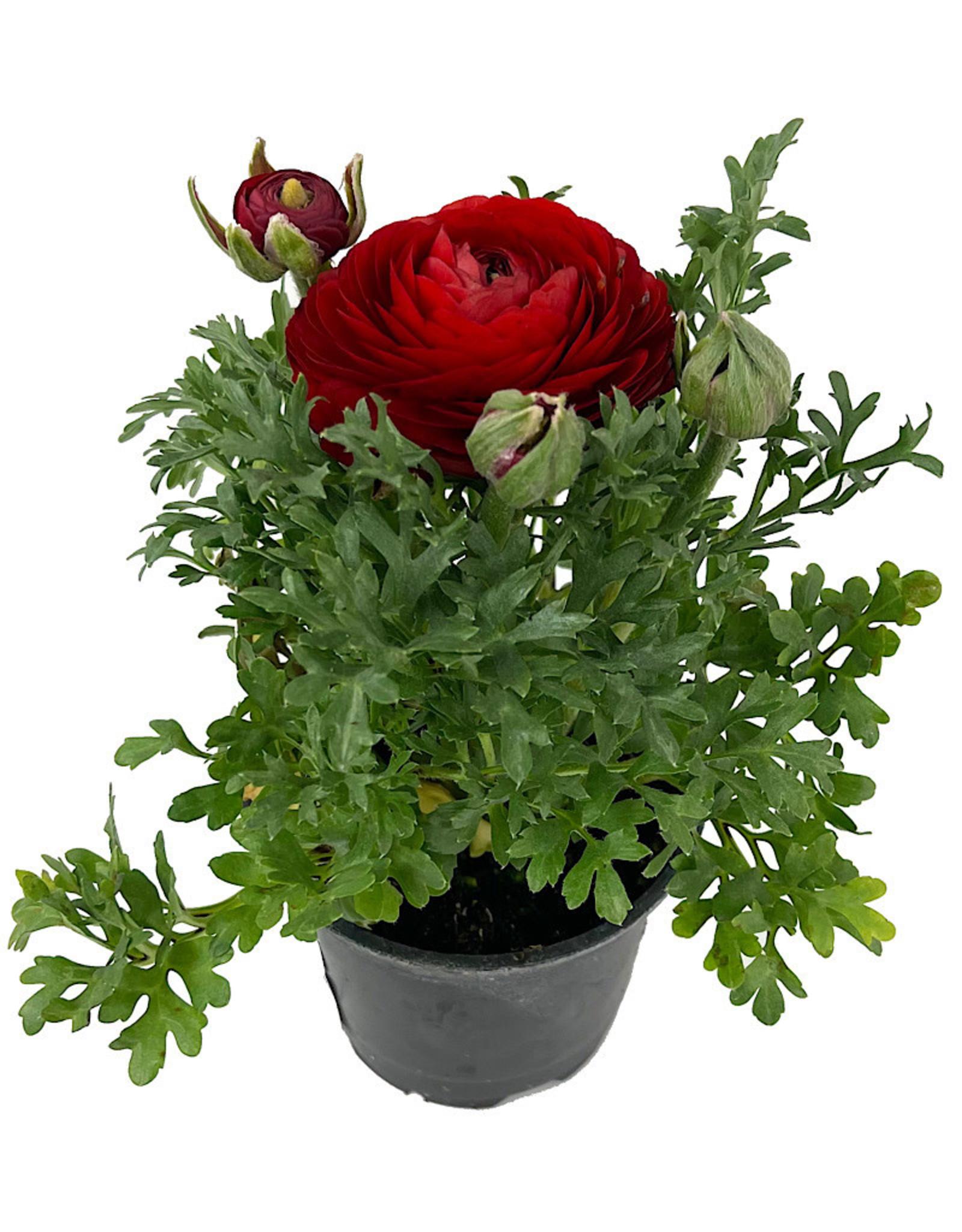 Ranunculus 'Sprinkles Red' 4 Inch