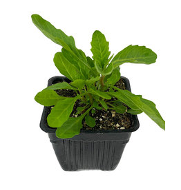 Chenopodium ambrosioides 4 Inch