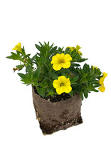 Calibrachoa 'Conga Deep Yellow' 4 Inch