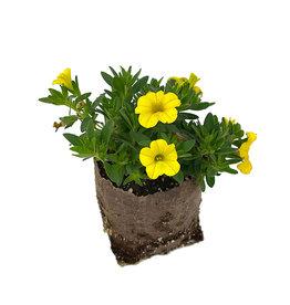 Calibrachoa 'Conga Deep Yellow' 4 Inch