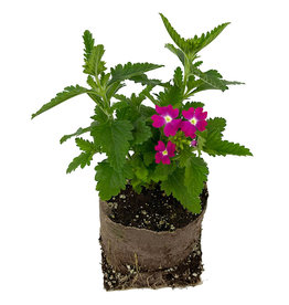 Verbena 'Upright Rose with Eye' 4 inch