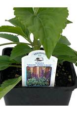 Salvia 'Mystic Spires' 4 Inch