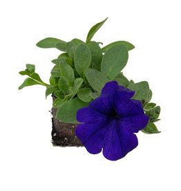 Petunia 'Main Stage Violet' 4 inch