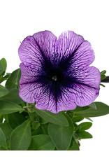 Petunia 'Purple Vein' 4 inch