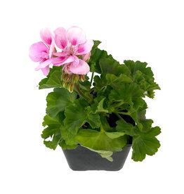 Geranium Zonal 'Tango Light Pink' 4 inch