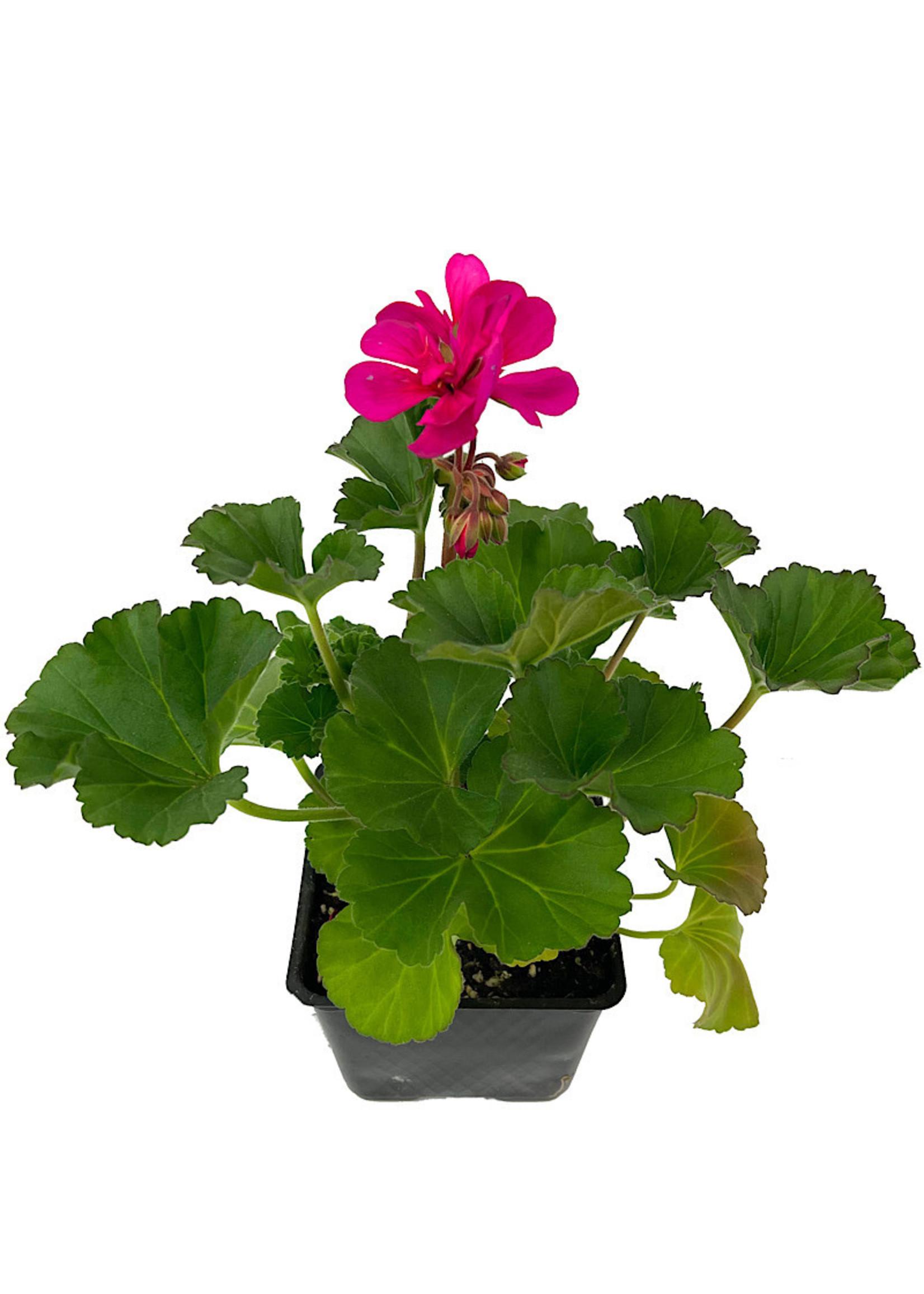 Geranium Zonal 'Tango Violet' 4 Inch