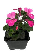 Geranium Zonal 'Caliente Pink' 4 Inch