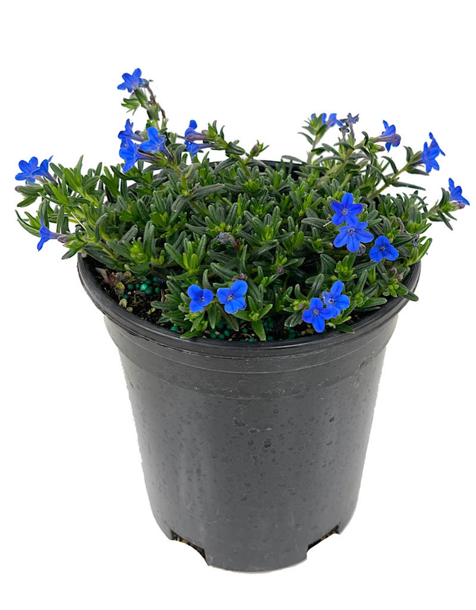 Lithodora diffusa 'Grace Ward' 1 Gallon