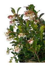 Vaccinium vitis-idaea 'Koralle' Quart