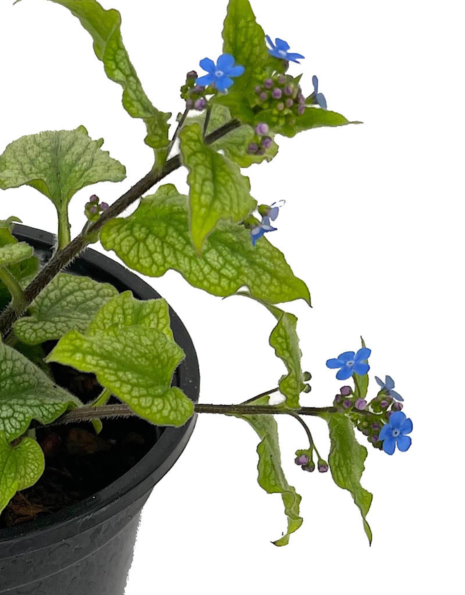 Brunnera macrophylla 'Jack Frost' Quart