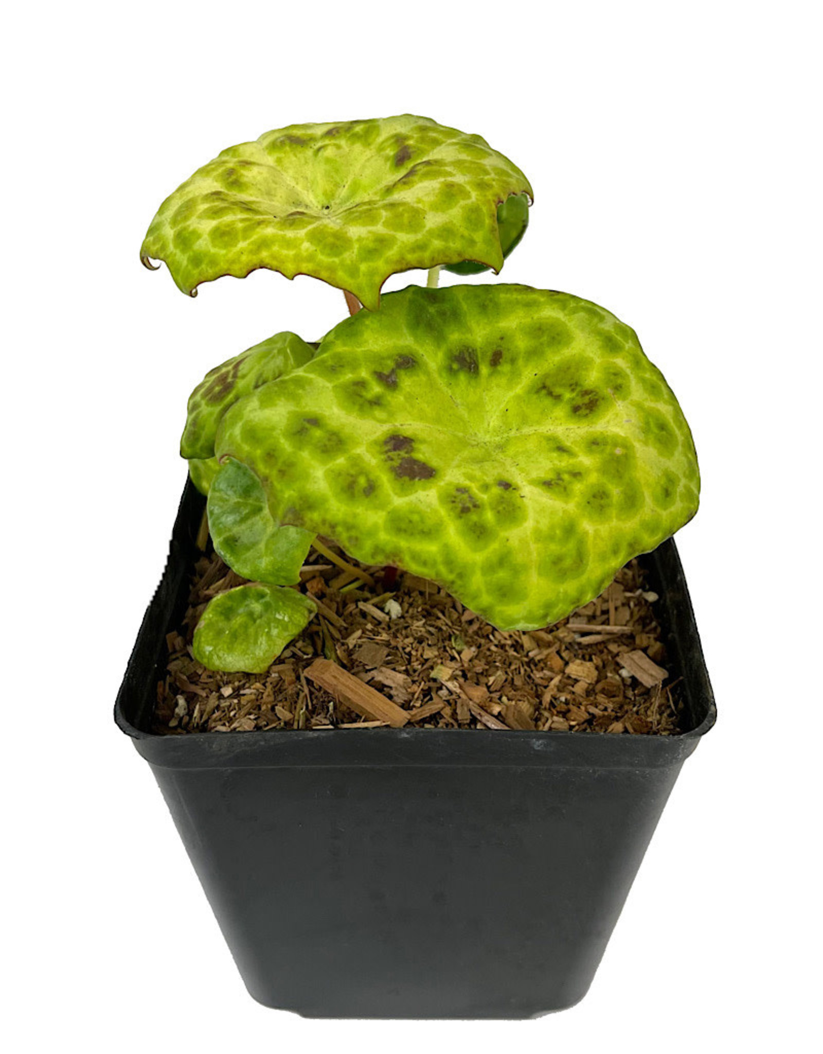 Podophyllum 'Spotty Dotty' 1 Gallon