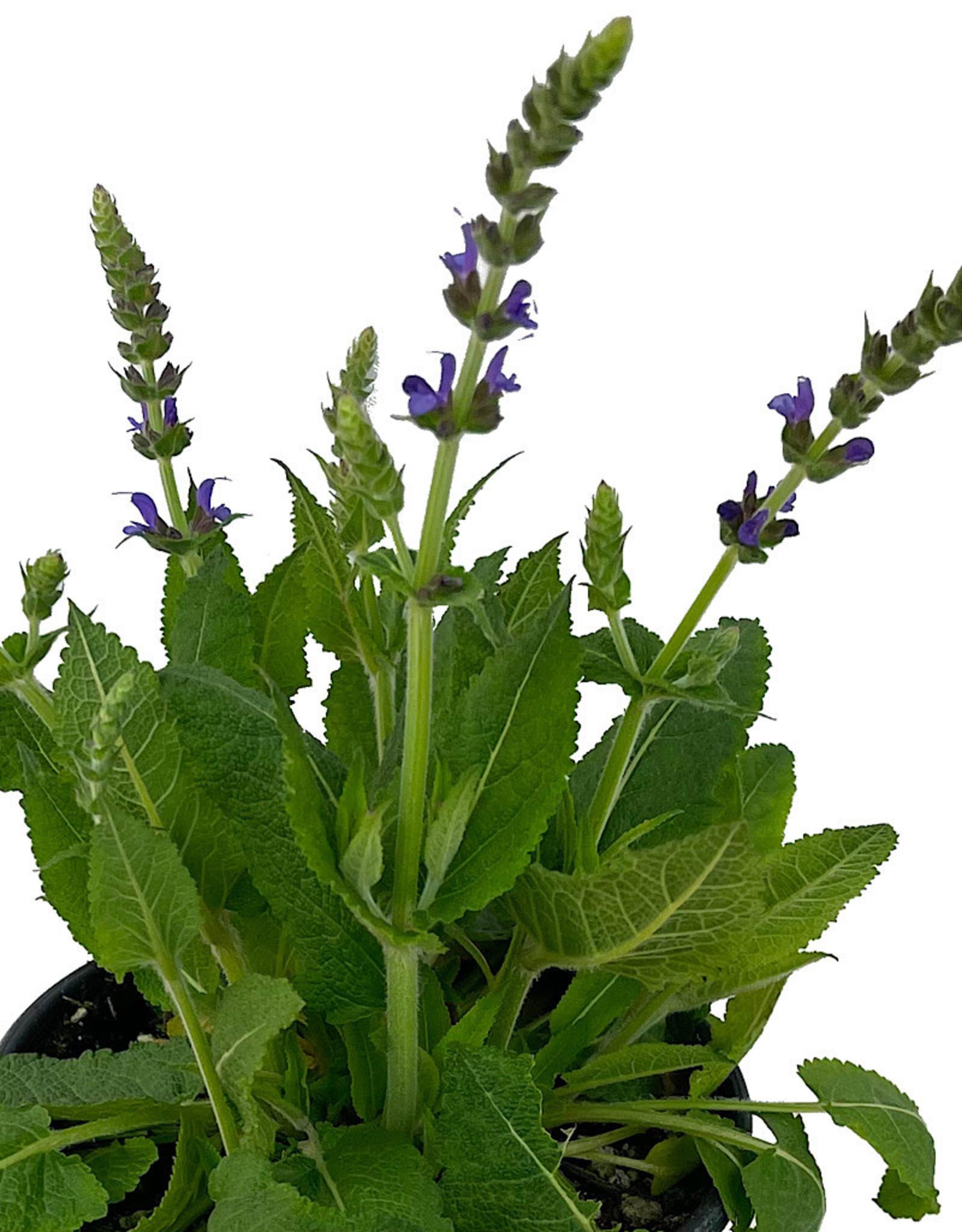 Salvia nemorosa 'May Night' 1 Gallon