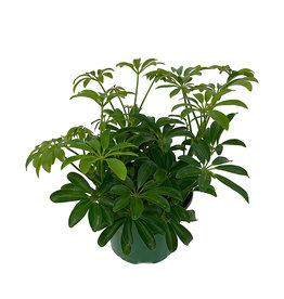 Schefflera arboricola 'Mini' 6 Inch