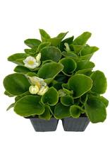 Begonia 'Ambassador White' Jumbo Traypack