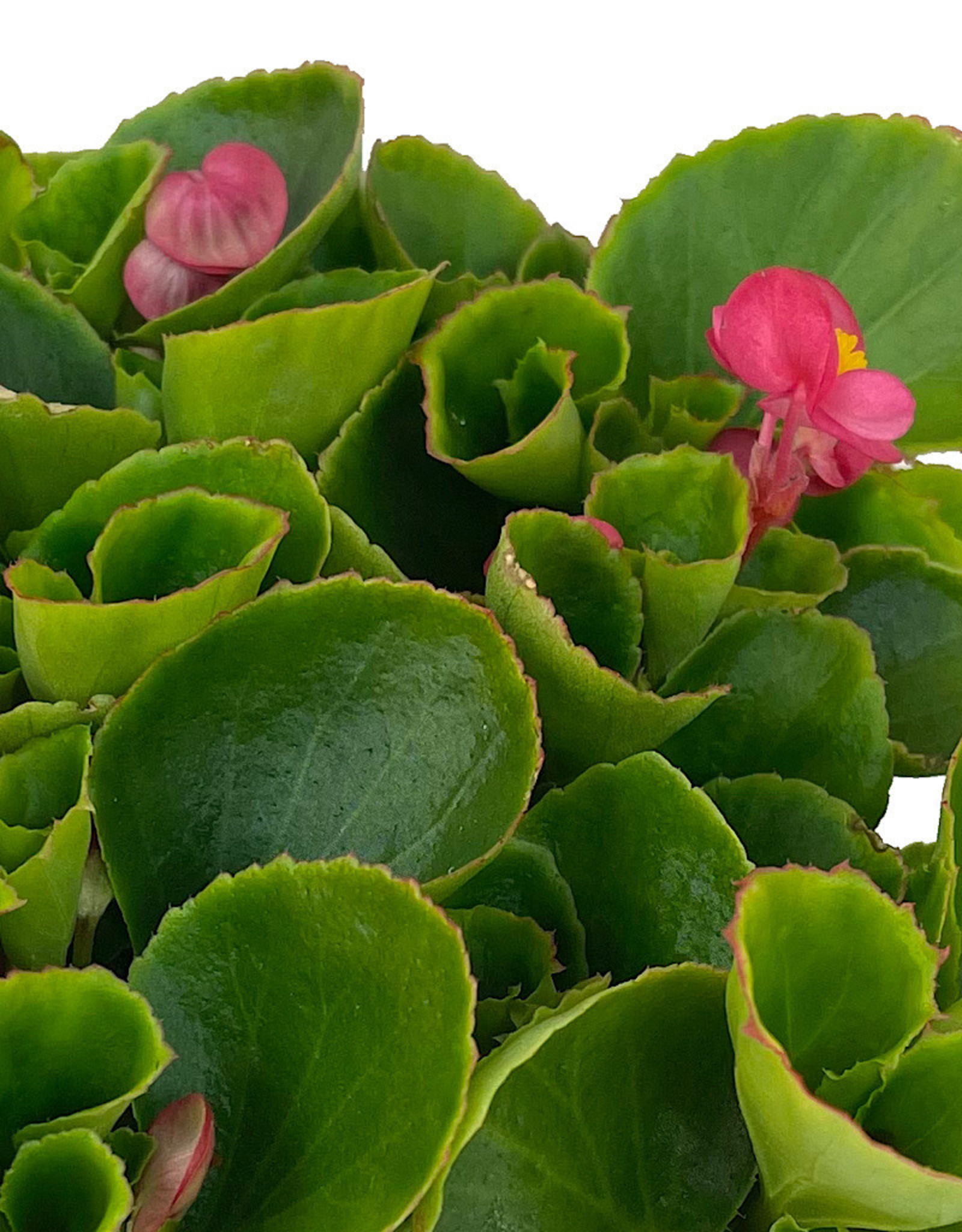 Begonia 'Ambassador Rose' Jumbo Traypack