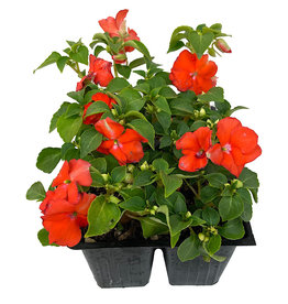 Impatiens 'Accent Orange' Jumbo Traypack