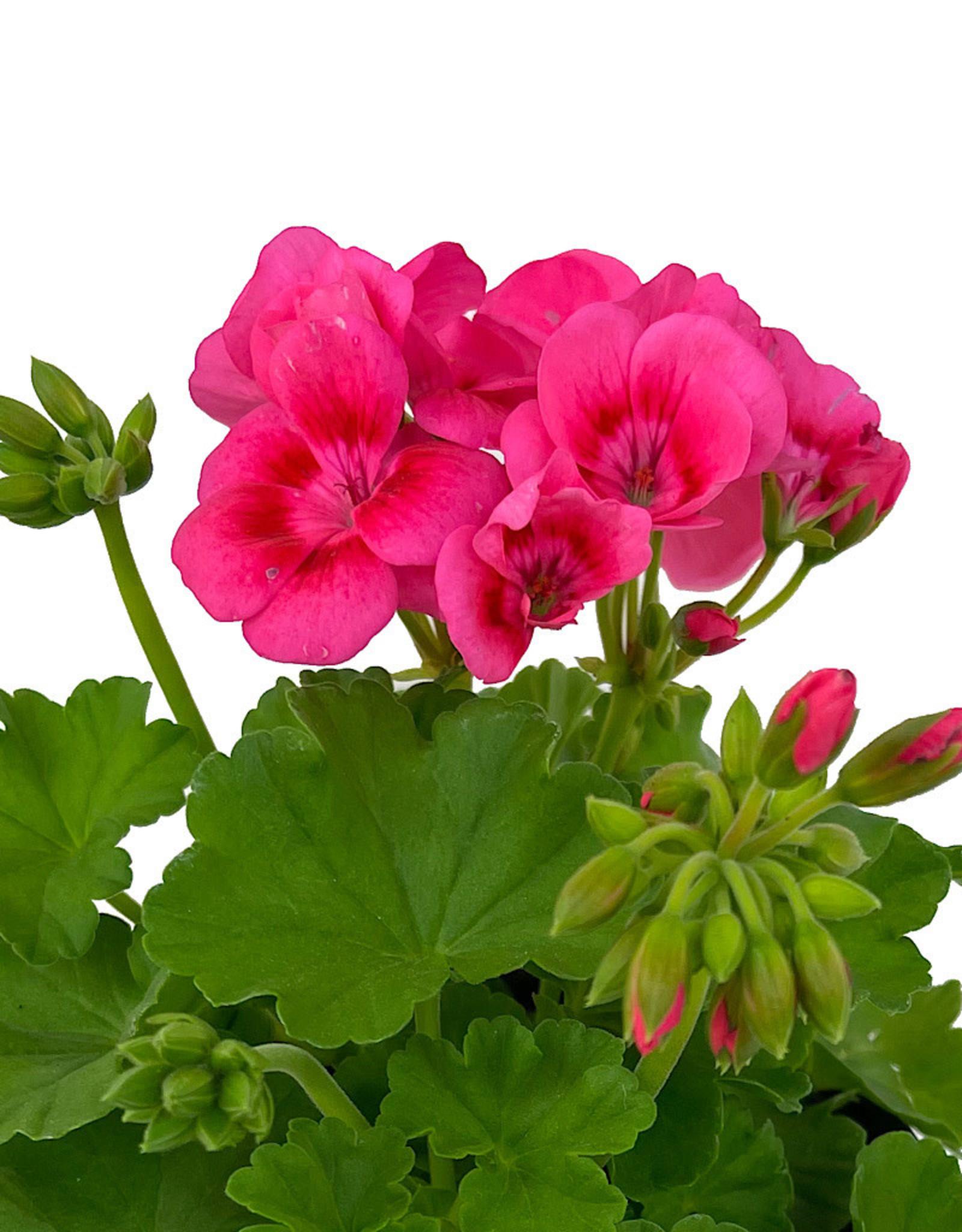 Geranium Zonal 'Pretty Little Pink Splash' 5 Inch