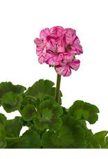 Geranium Zonal 'Glitter Pink' 5 Inch