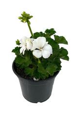 Geranium Zonal 'Presto White' 5 Inch