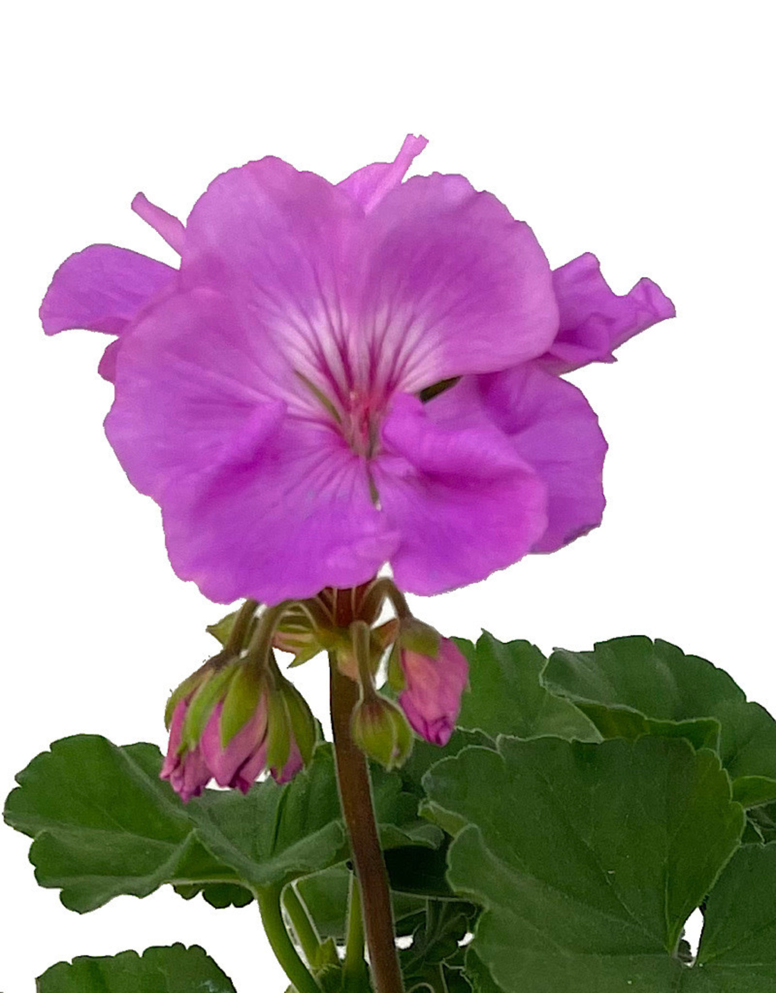 Geranium Zonal 'Moonlight Lavender Evolution' 5 Inch