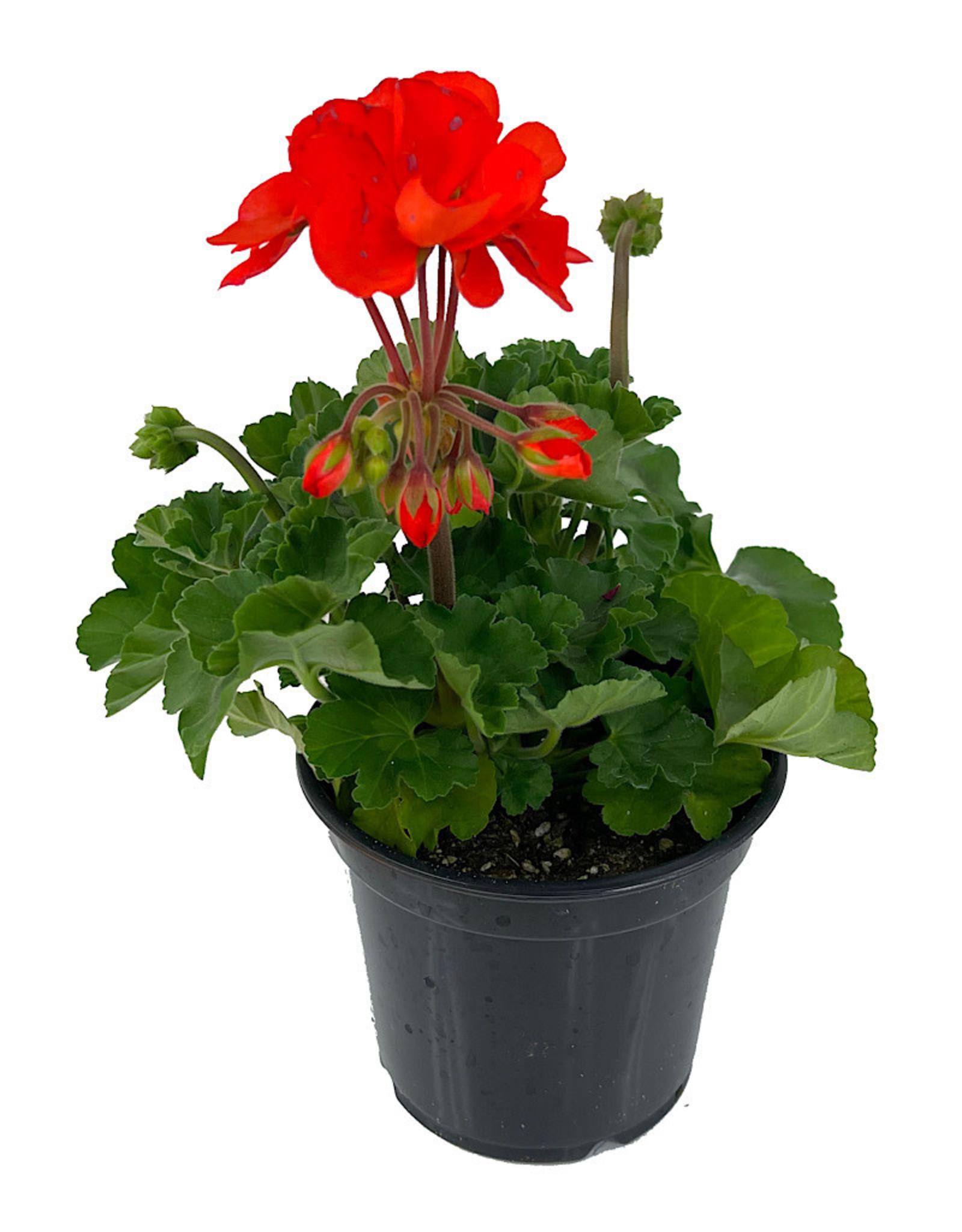Geranium Zonal 'Presto Orange' 5 Inch