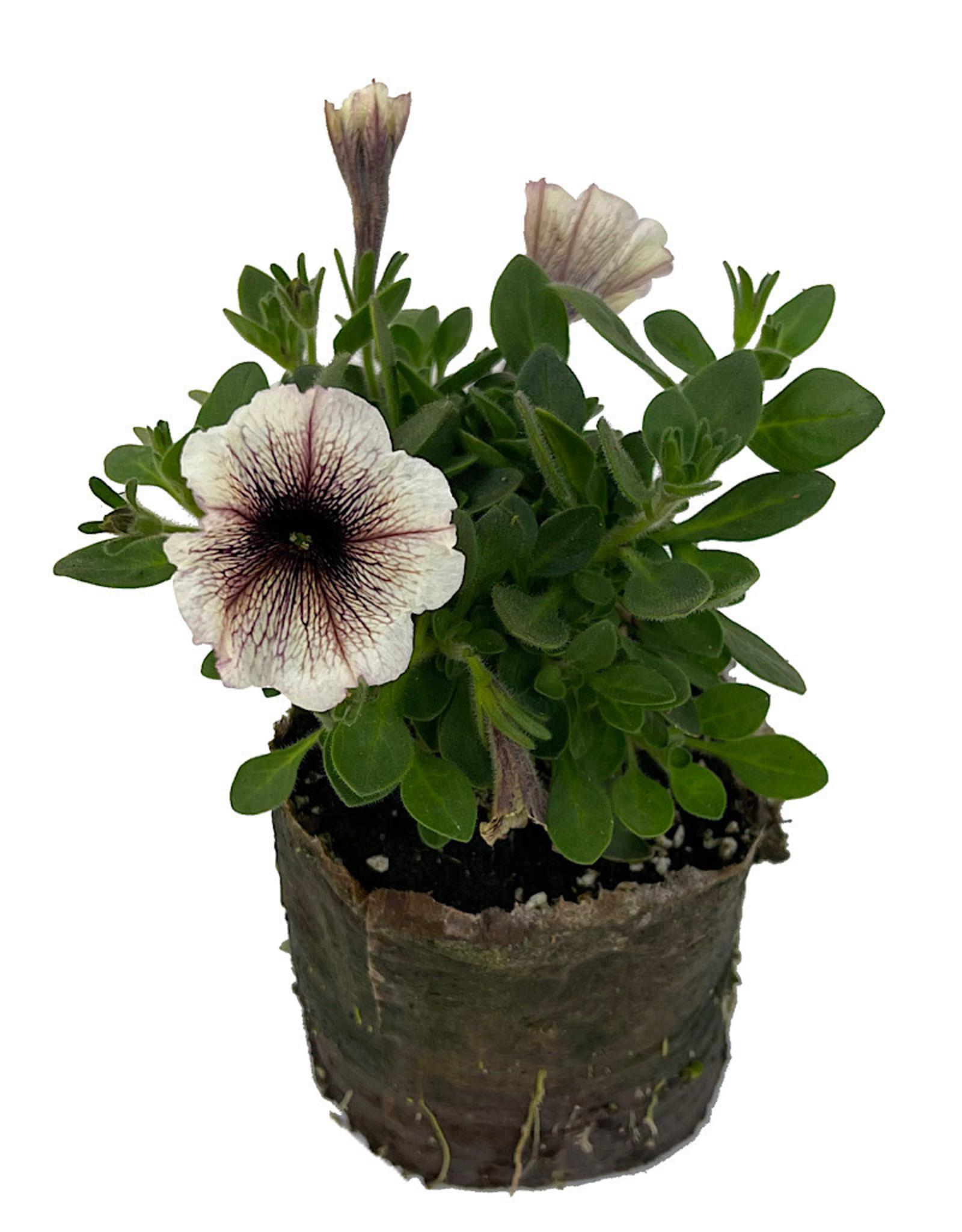 Petunia 'Supertunia Latte' 4 inch