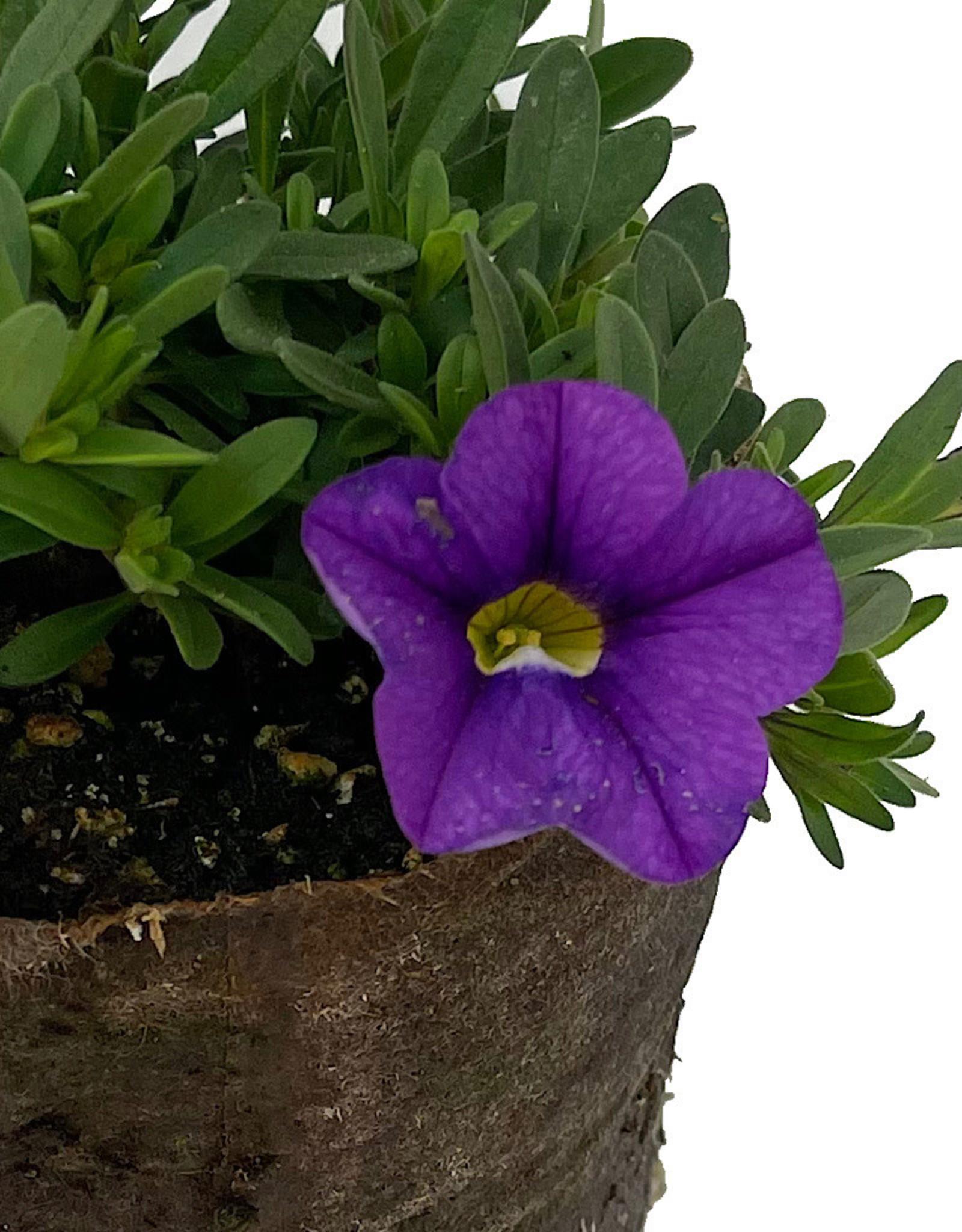 Calibrachoa 'Cabaret Lavender' 4 inch
