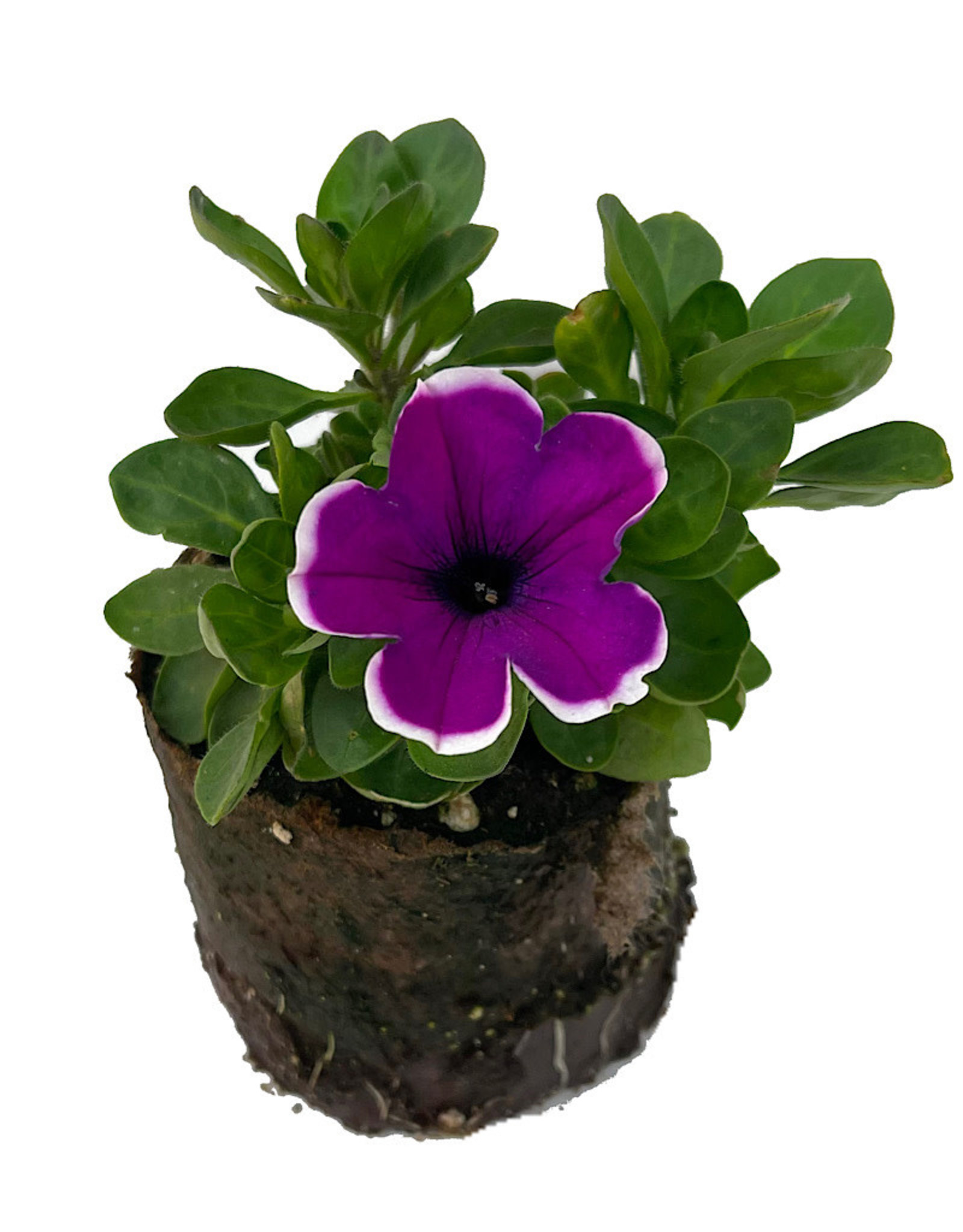 Petunia 'Main Stage Violet Picotee' 4 inch