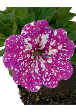 Petunia 'Pink Sky' 4 inch